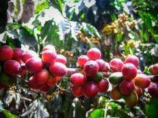 SÃO PAULO Y EL CAFÉ La historia de la ciudad de São Paulo está directamente relacionada al cultivo del café. Si no fuese por él, la selva de piedra no seria lo que es hoy. Y es que con la expansión de sus plantaciones por la región, en la segunda mitad del siglo XIX, la economía de São Paulo, una ciudad provinciana y de segunda hasta entonces, se disparó de tal manera que hoy es la mayor metrópoli de América del Sur y unos de los principales polos económicos mundiales. Fue el café quien llevó el ferrocarril a la ciudad, uniéndola a la localidad costera de Santos, desde donde se exportaba en barcos al mundo entero. Y fue por esas mismas vías de tren, pero en sentido inverso, por donde llegaron miles y miles de inmigrantes venidos de todo el planeta en busca de una vida mejor. Hasta la abolición en 1888 eran los esclavos los que trabajaban en las plantaciones, pero con su prohibición Brasil no tuvo más remedio que abrir sus puertas de par en par para cubrir la enorme falta de mano de obra. Así, en pocas décadas la ciudad aumentó su población y su tamaño a un ritmo vertiginoso. La crisis económica de 1929 disminuyó drásticamente las exportaciones de café, y los empresarios paulistanos se reinventaron invirtiendo sus ganancias cafeteras en la creación de industrias, lo que volvió a acelerar el crecimiento de la ciudad hasta la actualidad. Tal fue la importancia del café para la formación de la actual São Paulo que hasta su propio escudo está adornado con sus hojas y frutos.