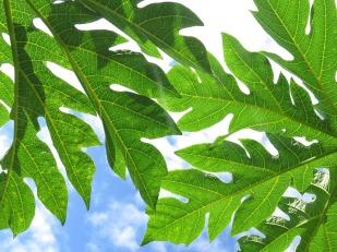 Hojas de árbol de papaya