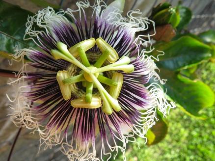 Flor de maracuya